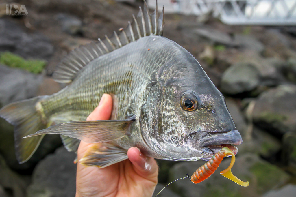 daiwa black bream in depth angler lure and fly fishing