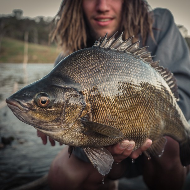 Nice change after catching yellas all day. @chooka44 with a cracking silver from the other day #windamere #siverperch #ecogear #fishingaustralia #fishingphotography